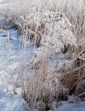 Weeds coated with a layer of glittering white hoarfrost.