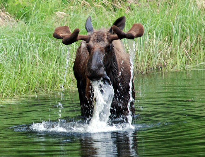 An opportunistic animal, this grazing moose was captured along a roadside in Alaska.