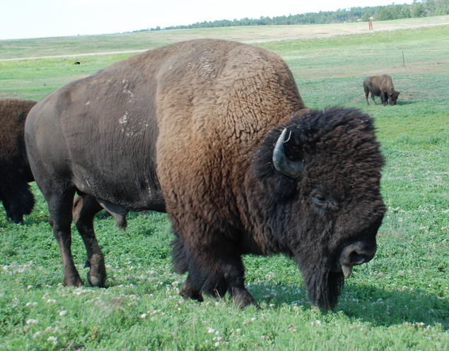 This bison bull lives in the Black Hills of South Dakota. Photo about 2007 or 2008.