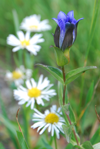 Some gentian varieties can be made into medicines.