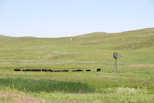 Black cattle coming to windmill with tall grass-covered sandhills in backbround