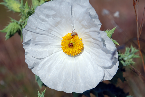 white, almost circular flower with yellow center